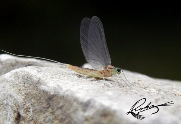 Baetidae Cloeon subimago.jpg