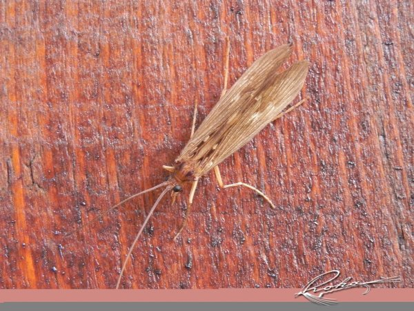 Potamophylax Adult  Limnephilide.jpg